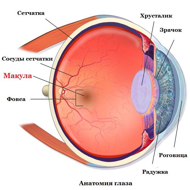 anatomiya-glaza1